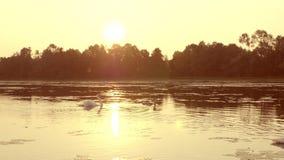 Famille des cygnes flottant sur le lever de soleil de matin clips vidéos
