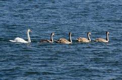 Famille des cygnes muets image stock