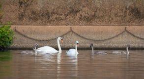 Famille des cygnes muets sauvages Photo libre de droits