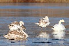 Famille des cygnes muets sur la glace Images libres de droits