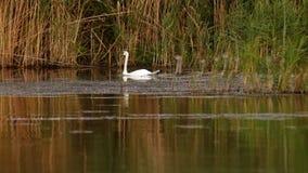 Famille des cygnes muets sur le delta de Danube images libres de droits