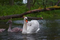 Famille des cygnes nageant sur la rivière Pologne Images stock