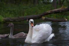 Famille des cygnes nageant sur la rivière Pologne Images libres de droits
