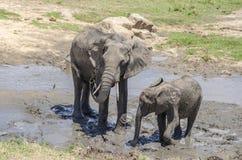 Famille des elefants Images stock