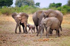 Famille des elelphats avec un veau minuscule se tenant sur les plaines africaines ouvertes, Zfrica du sud photographie stock libre de droits