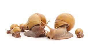 Famille des escargots Images stock