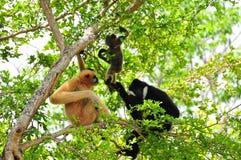 Famille des gibbons blancs-cheeked dans le zoo photographie stock libre de droits