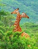 Famille des giraffes Photo libre de droits