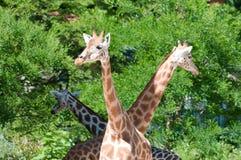 Famille des giraffes Photographie stock libre de droits