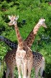 Famille des giraffes Image libre de droits
