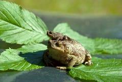 Famille des grenouilles Photo libre de droits