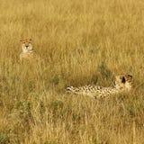 Famille des guépards Photos libres de droits