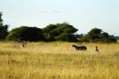 Famille des guépards Image libre de droits