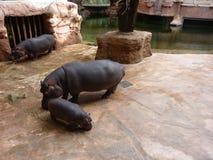 Famille des hippopotames Image stock