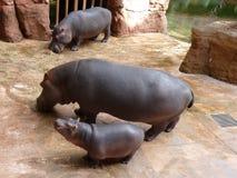 Famille des hippopotames Photographie stock