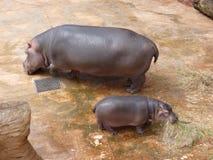 Famille des hippopotames Photos stock