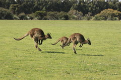 Famille des kangourous sautants Image libre de droits