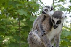 Famille des lémurs anneau-coupés la queue Images stock