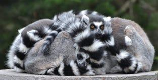 Famille des lémurs anneau-coupés la queue Photographie stock