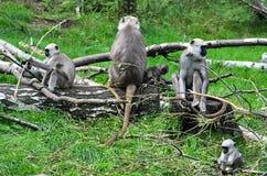 Famille des langurs du nord de gris de plaines photographie stock libre de droits