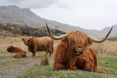 Famille des montagnes de bétail Photos stock
