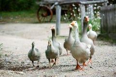 Famille des oies Image libre de droits