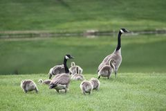 Famille des oies canadiennes Photo stock