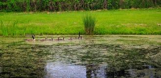 Famille des oies croisant l'étang Photographie stock