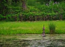 Famille des oies croisant l'étang Photo stock