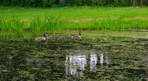 Famille des oies croisant l'étang Images libres de droits
