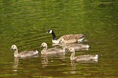 Famille des oies de Canada nageant Images stock