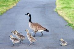 Famille des oies de Canada traversant la route Image stock