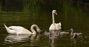 Famille des oiseaux de cygnes sur l'étang Images libres de droits