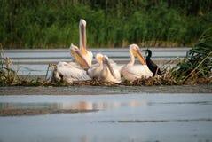 Famille des pélicans et d'un repos de famille de cormoran images stock