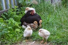 Famille des poulets, poulet noir avec de petits poulets sur l'herbe photos libres de droits