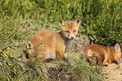 Famille des renards rouges dans l'habitat naturel Image stock