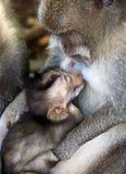 Famille des singes Image stock