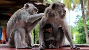 Famille des singes Allaitement au sein de singe de bébé Alimentations de maman Le papa s'inquiète Concept de la famille clips vidéos