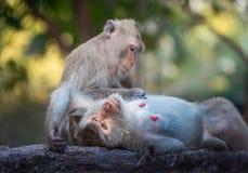 Famille des singes dans le sauvage Photographie stock libre de droits