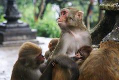 Famille des singes dans le temple Image libre de droits
