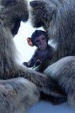 Famille des singes de macaques Photo stock