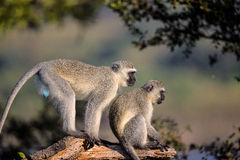 Famille des singes de Vervet en parc national de Kruger Images stock