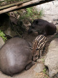 Famille des tapirs images stock
