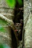 Famille des tarsiers spectraux, spectre de Tarsius, portrait des mammifères nocturnes endémiques rares, petit primat mignon dans  photographie stock