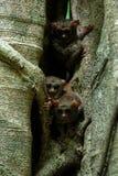 Famille des tarsiers spectraux, spectre de Tarsius, portrait des mammif?res nocturnes end?miques rares, petit primat mignon dans  photos stock