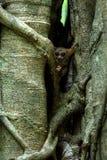 Famille des tarsiers spectraux, spectre de Tarsius, portrait des mammif?res nocturnes end?miques rares, petit primat mignon dans  images stock