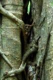 Famille des tarsiers spectraux, spectre de Tarsius, portrait des mammif?res nocturnes end?miques rares, petit primat mignon dans  image stock