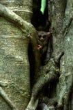 Famille des tarsiers spectraux, spectre de Tarsius, portrait des mammif?res nocturnes end?miques rares, petit primat mignon dans  photo stock