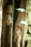 Famille des tarsiers spectraux, spectre de Tarsius, portrait des mammif?res nocturnes end?miques rares, petit primat mignon dans  image libre de droits