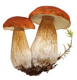 Famille du porcini blanc Sélection foragée sauvage de champignon d'isolement sur le fond, avec l'ombre Champignons de couche edul Image libre de droits